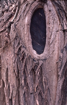 tree trunk with eye