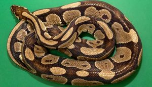 ball_python